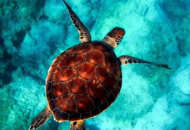Bahamas Sea Turtle