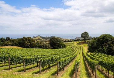 North Island Vineyard
